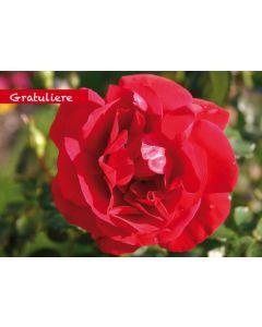 """Postkarte rote Rose """"gratuliere"""""""